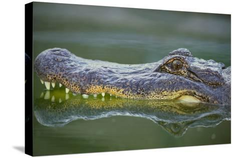 Alligator-DLILLC-Stretched Canvas Print