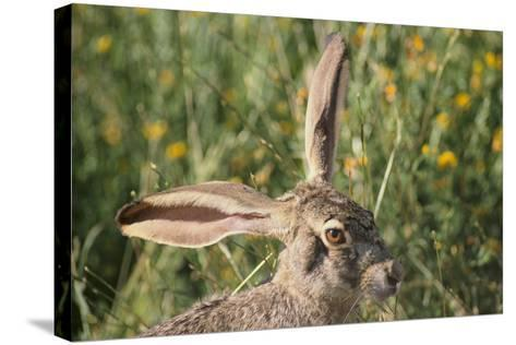 Jackrabbit Listening with Both Ears-DLILLC-Stretched Canvas Print