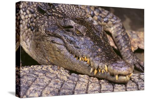 Crocodile-DLILLC-Stretched Canvas Print