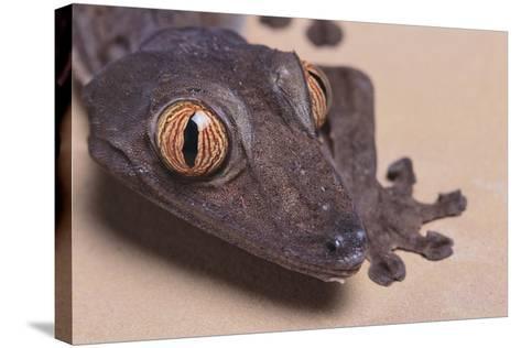Madagascar Leaf-Tail Gecko-DLILLC-Stretched Canvas Print