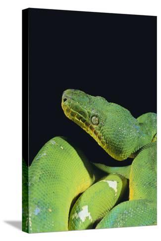 Emerald Tree Boa-DLILLC-Stretched Canvas Print