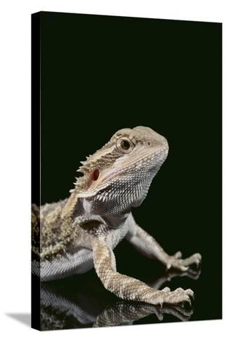 Bearded Dragon-DLILLC-Stretched Canvas Print