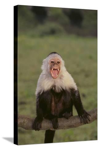White-Faced Capuchin Baring Teeth-DLILLC-Stretched Canvas Print