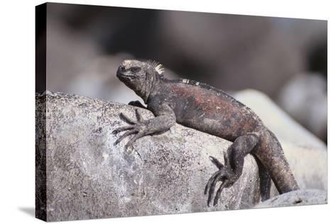 Marine Iguana-DLILLC-Stretched Canvas Print