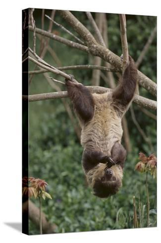 Two-Toed Tree Sloth Hanging from Tree-DLILLC-Stretched Canvas Print