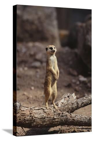 Meerkat Standing Up-DLILLC-Stretched Canvas Print