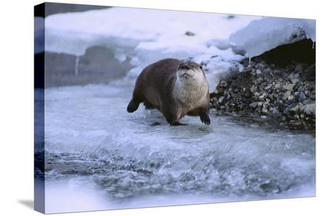 River Otter on Icy Riverbank-DLILLC-Stretched Canvas Print