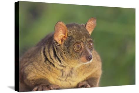 Greater Bush Baby-DLILLC-Stretched Canvas Print