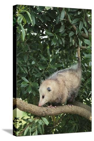 Opossum in Tree-DLILLC-Stretched Canvas Print