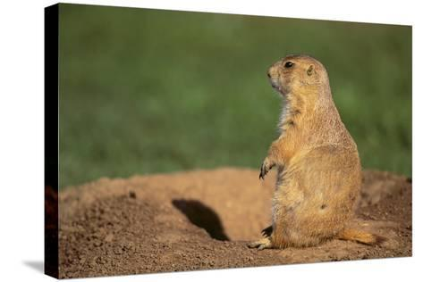Black-Tailed Prairie Dog-DLILLC-Stretched Canvas Print