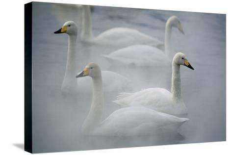 Whooper Swans on Lake-DLILLC-Stretched Canvas Print
