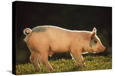 Yorkshire and Hampshire Mixed Breed Piglet-DLILLC-Stretched Canvas Print