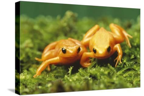 Golden Frogs-DLILLC-Stretched Canvas Print
