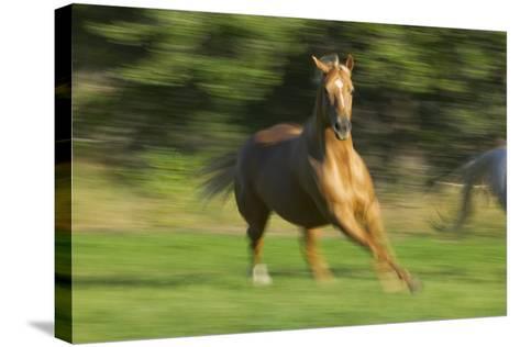 Quarter Horse Galloping-DLILLC-Stretched Canvas Print