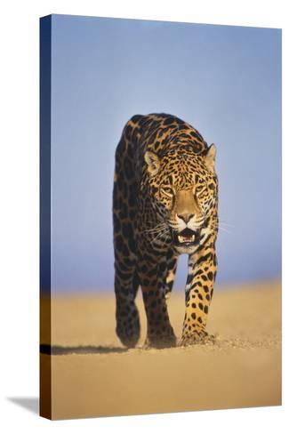Jaguar-DLILLC-Stretched Canvas Print