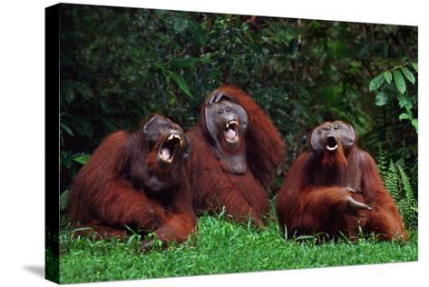 Orangutans Laughing-DLILLC-Stretched Canvas Print