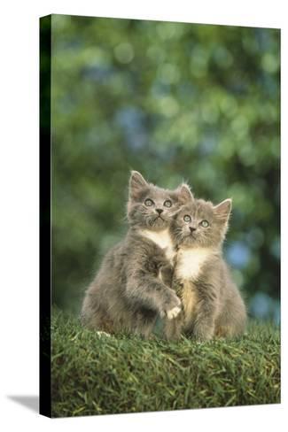 Gray Kittens-DLILLC-Stretched Canvas Print