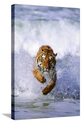 Tiger Running in Surf-DLILLC-Stretched Canvas Print