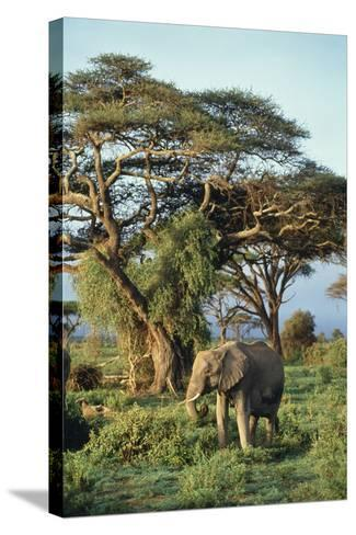 African Elephant-DLILLC-Stretched Canvas Print
