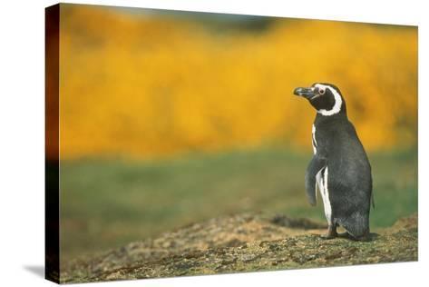 Magellanic Penguin-DLILLC-Stretched Canvas Print