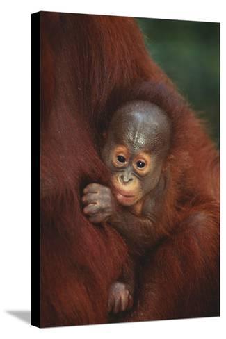 Baby Orangutan Holding onto Mother-DLILLC-Stretched Canvas Print