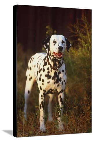 Dalmatian-DLILLC-Stretched Canvas Print