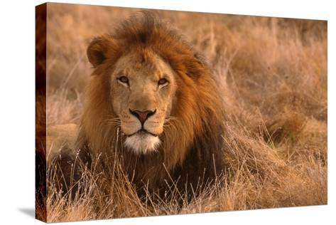 Lion-DLILLC-Stretched Canvas Print