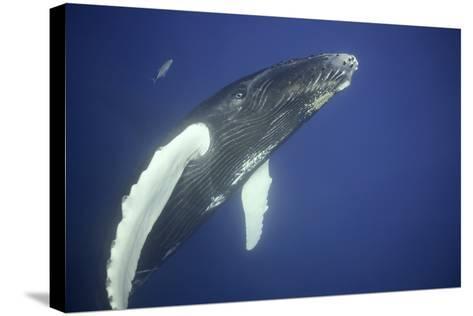 Humpback Whale Calf-DLILLC-Stretched Canvas Print