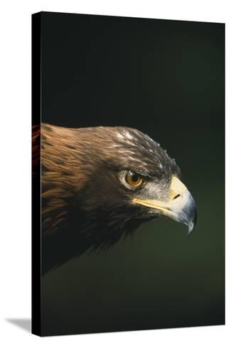 Golden Eagle-DLILLC-Stretched Canvas Print