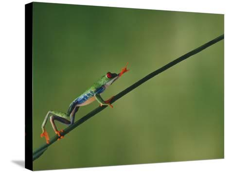 Red-Eyed Tree Frog Climbing Twig-DLILLC-Stretched Canvas Print