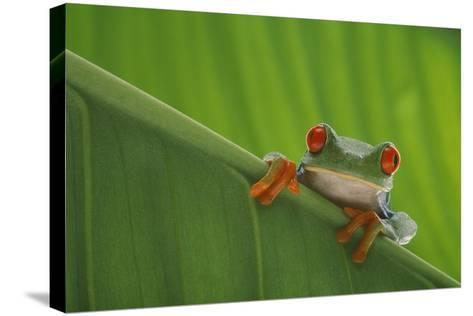 Red-Eyed Tree Frog-DLILLC-Stretched Canvas Print