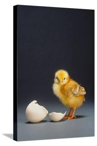 Rhode Island Red Chick and Eggshell-DLILLC-Stretched Canvas Print