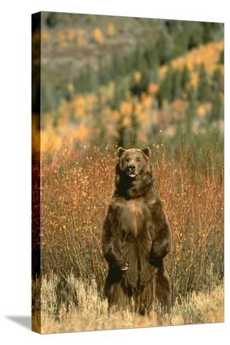 Grizzly Bear Standing-DLILLC-Stretched Canvas Print