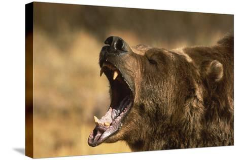 Snarling Grizzly Bear-DLILLC-Stretched Canvas Print