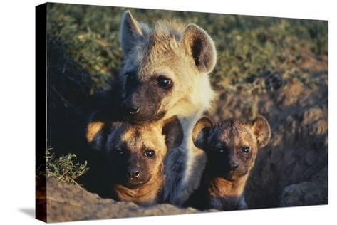 Young Hyenas in Den-DLILLC-Stretched Canvas Print