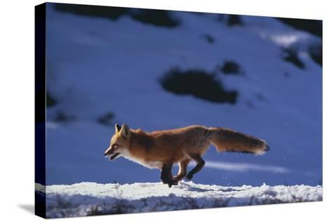 Red Fox Running in Snow-DLILLC-Stretched Canvas Print
