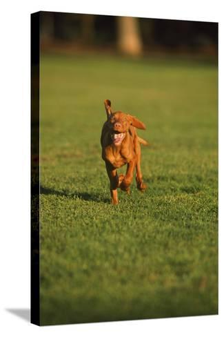 Running Viszla Puppy-DLILLC-Stretched Canvas Print