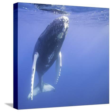 Humpback Calf near Surface-DLILLC-Stretched Canvas Print