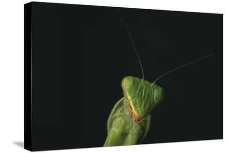 Praying Mantis-DLILLC-Stretched Canvas Print