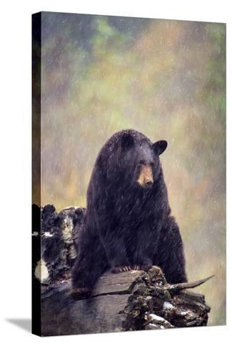 Black Bear-DLILLC-Stretched Canvas Print