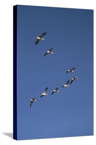 Snow Geese Flying in Formation-DLILLC-Stretched Canvas Print