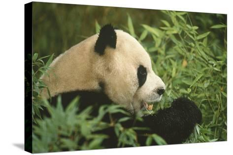 Giant Panda Eating Bamboo-DLILLC-Stretched Canvas Print