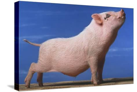 Vietnamese Pot-Bellied Pig Stretching-DLILLC-Stretched Canvas Print