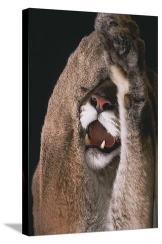 Mountain Lion with Paws over Eyes-DLILLC-Stretched Canvas Print