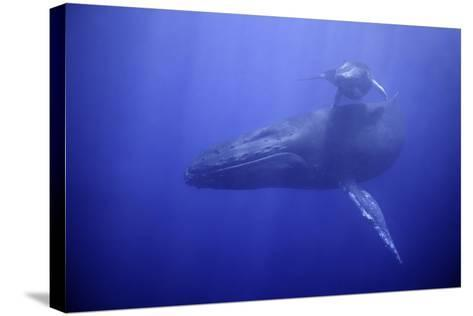 Humpback Whale Mother and Calf-DLILLC-Stretched Canvas Print