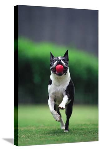 Boston Terrier Running with Ball-DLILLC-Stretched Canvas Print
