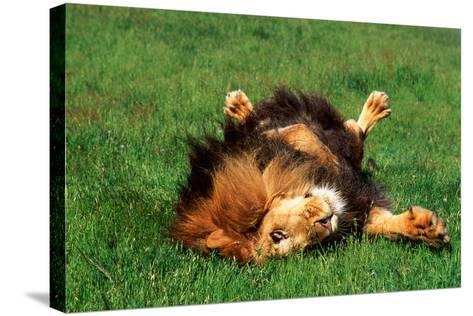 Male Lion Rolling in Grass-DLILLC-Stretched Canvas Print