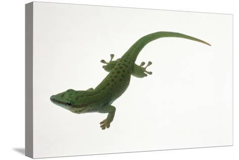 Day Gecko-DLILLC-Stretched Canvas Print