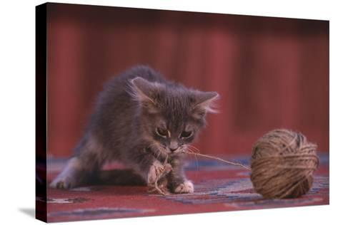 Kitten Playing with Ball of String-DLILLC-Stretched Canvas Print