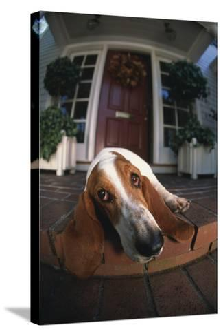 Basset Hound Lying on Porch-DLILLC-Stretched Canvas Print
